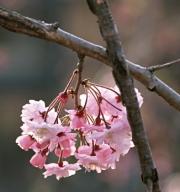櫻のカット