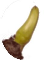 レンコンの芽